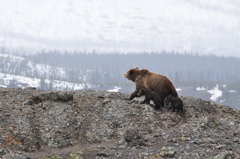Mama bear with two cubs on rocky hillside