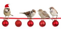 Christmas Decorations with live Sparrows