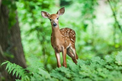 Cute spotted fawn in a forested area