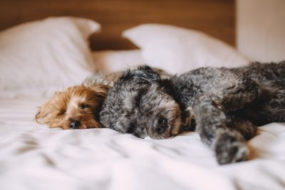 Two puppies sleeping on a cozy comforter
