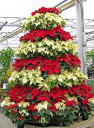 Christmas tree made of live poinsettias