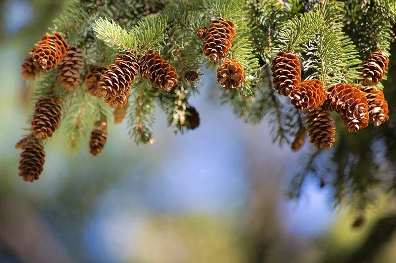 Pine cones and pine branches