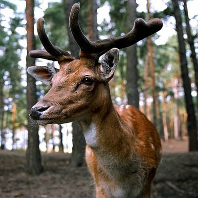 Deer with velvet on antlers