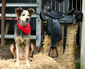 Dog in barn next to saddle
