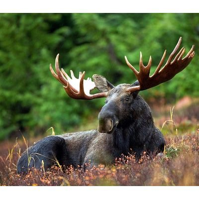 Moose with large antlers lying in the grass